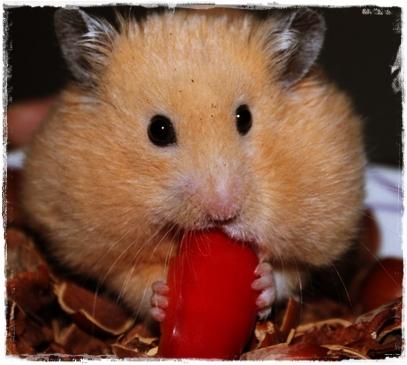 Ciri-ciri hewan hamster