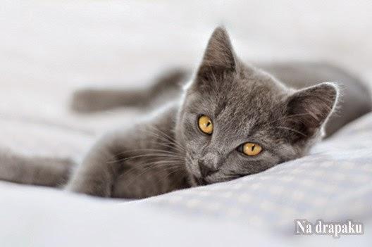 Dziedziczenie umaszczeń jasnych i ciemnych u kotów