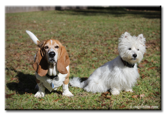 Basset Hound and Westie looking at camera