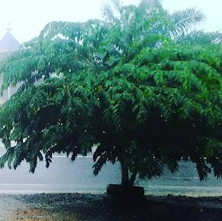 Petuah Pohon Cery