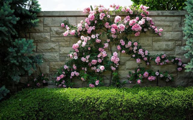 Struik met roze rozen tegen een muur