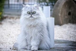 Jenis Kucing Ras Paling Lucu beserta Harga Terbaru, persia flatnose