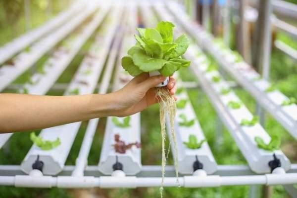 Masalah tanaman hidroponik dan cara mengatasinya