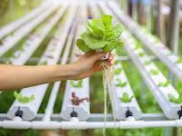 6 Masalah Pada Tanaman Hidroponik dan Cara Mengatasinya