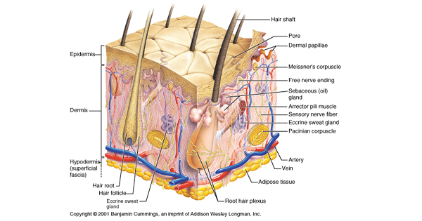 Integumentary System Medicoapps Modules