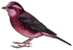Procarduelis nipalensis