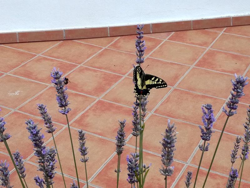 La mia pianta di lavanda con la farfalla