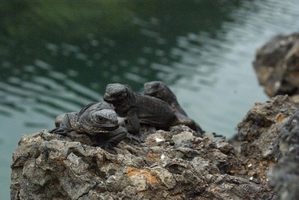 Real Monstrosities: Marine Iguana