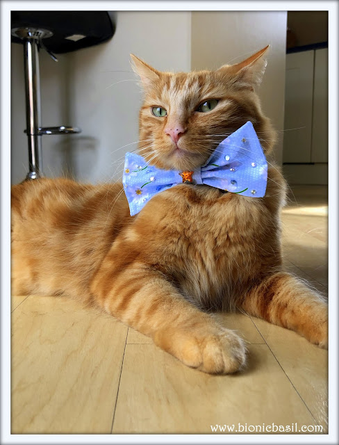 Fudge trying on Parsley's Bow Tie Mandalas on Monday @BionicBasil® #83.JPG