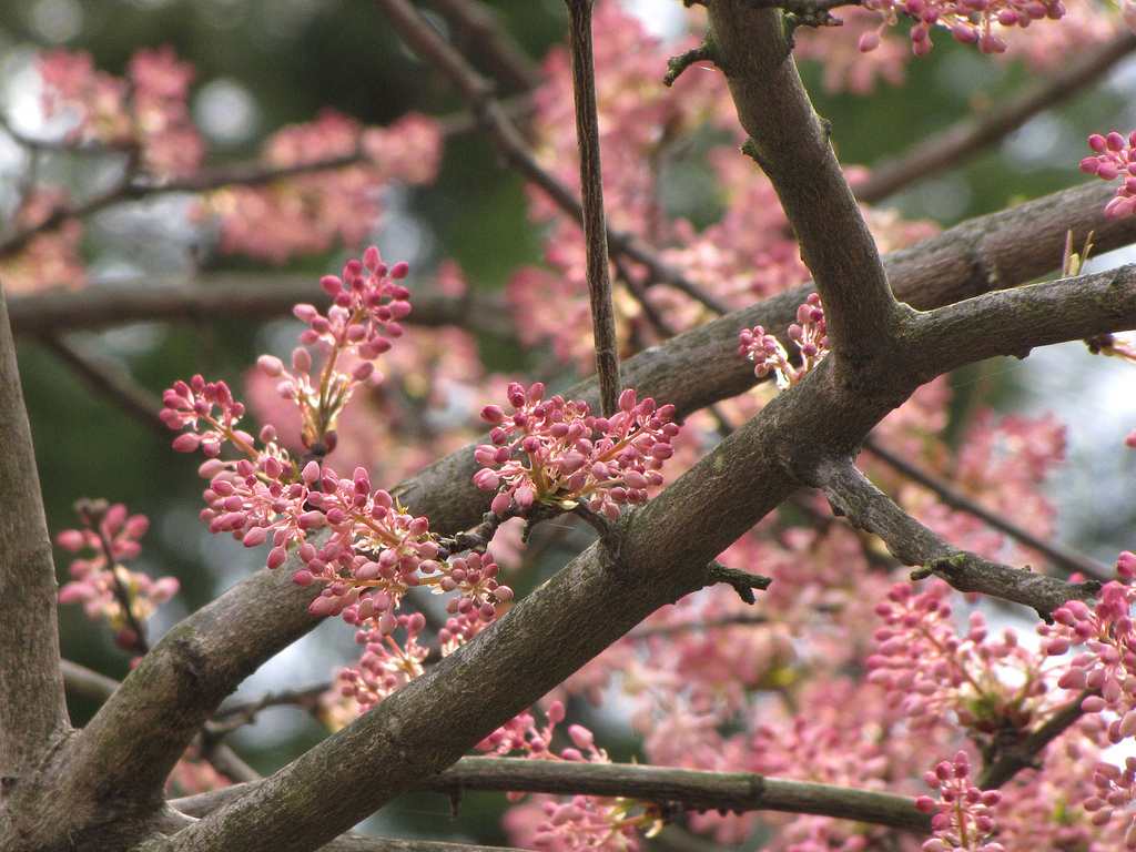 Angiosperms - Chinese Bladdernut Buds