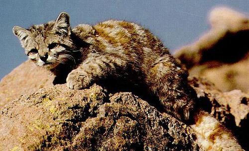kucing langka di dunia
