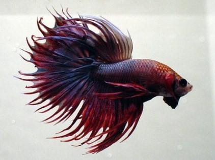 Cá Lia Thia