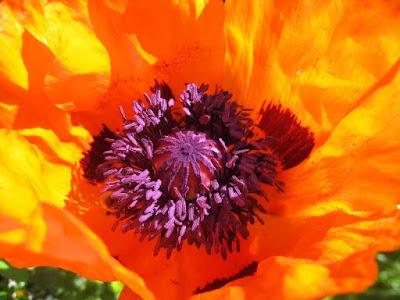 Close up of orange poppy with purple centre