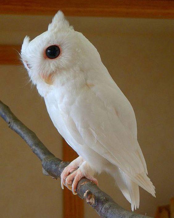 Owl | A-Z List of 125 Rare Albino Animals [Pics]