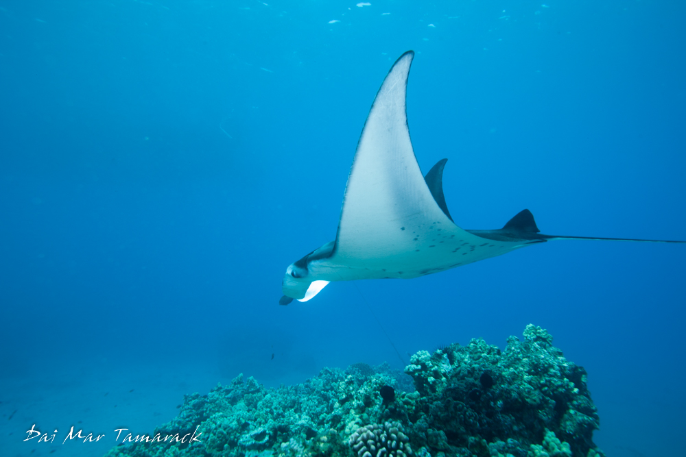 Sympathy for the devil: a conservation strategy for devil ...  |Manta Ray Range