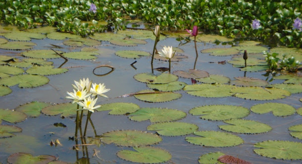 A sunny afternoon by a pond full of lovely water lilies