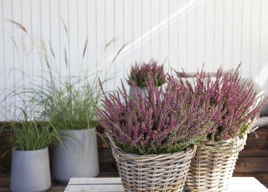 Inspirasjon til høstplanter i krukker - del 4 Furulunden. Prydgress og lyng sammen.