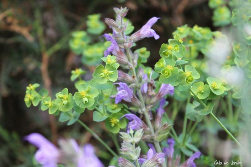 Flores de salvia y euforbia