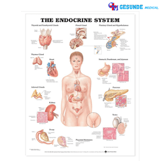 Anatomical Chart Sistem Endokrin