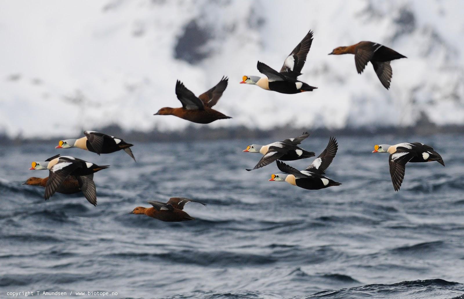 fuglene over sundet trailer