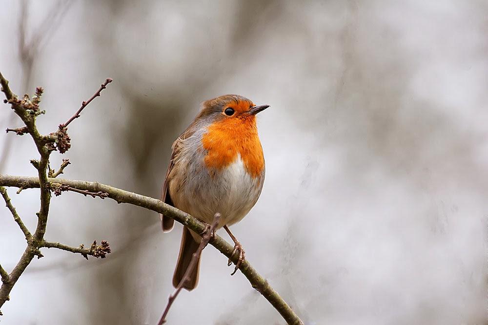 European Robin, Loughton Valley Park, Milton Keynes