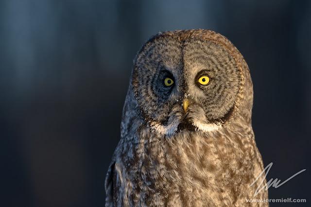 harfang des neiges, owl, hiboux, hibou, chouette, chouettes, oiseau, animaux, animal, bird, quebec, canada, jeremie leblond-fontaine, wildlife, wildbird, wild, animals