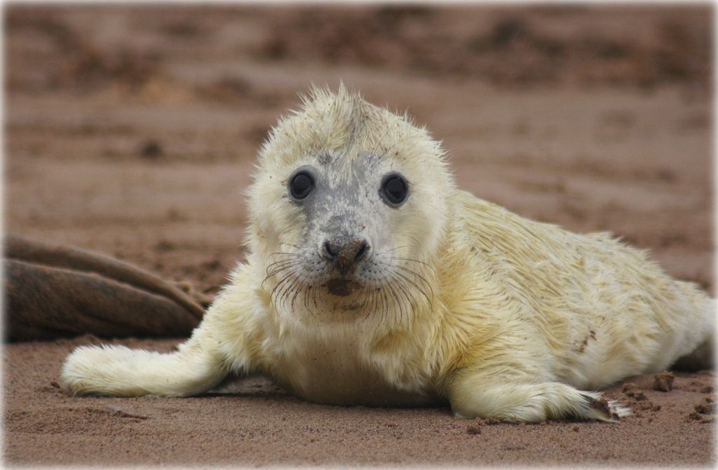 5. Newborn Atlantic Grey Seal pup by niknok2007