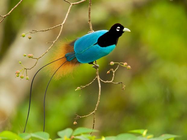 Ave-azul-do-paraíso (Paradisaea rudolphi)