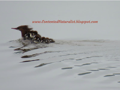 Female Common Merganser swims away into the mist, with seven fuzzy ducklings riding cozily on her back.