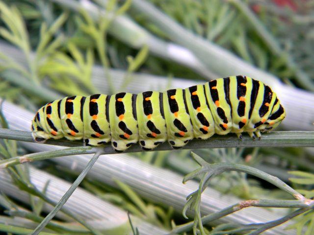 polskie motyle, paź królowej, fotografie przyrodnicze