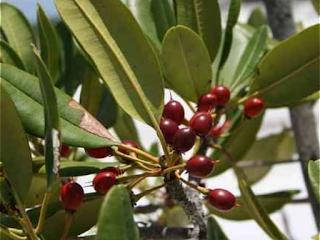 Substância de planta da caatinga pode ser remédio contra DST, diz pesquisa