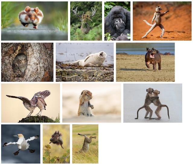 Pemenang lomba Commedy Wildlife Photography Award 2015