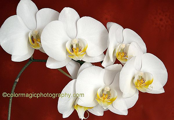 White moth orchid flowers