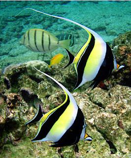 Ikan Hias Air Laut Idolsfish