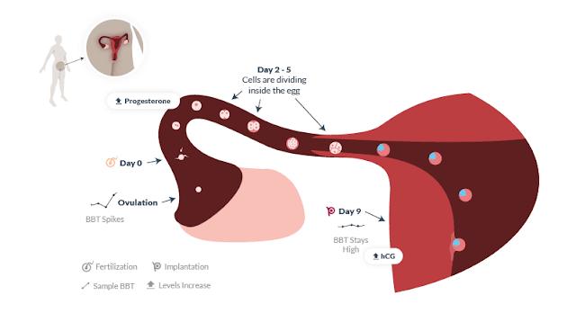 implantasi embrio