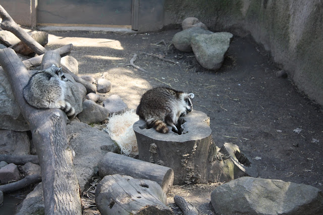 Raccoons sleeping on a sunny day at the Cosley Zoo