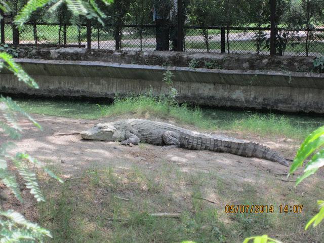 chrocodile