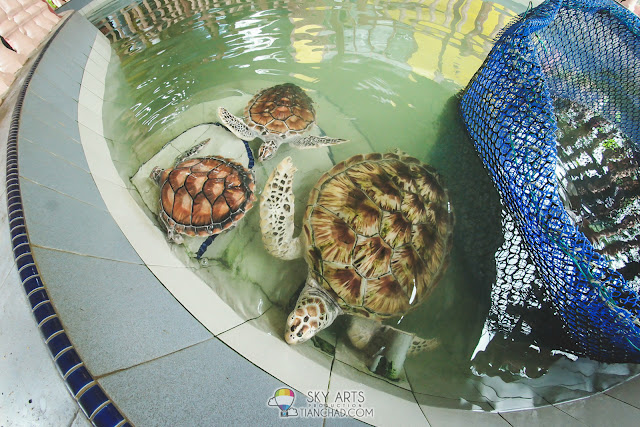 Three adult turtles spotted in the turtle sanctuary nearby Club Med Cherating Beach