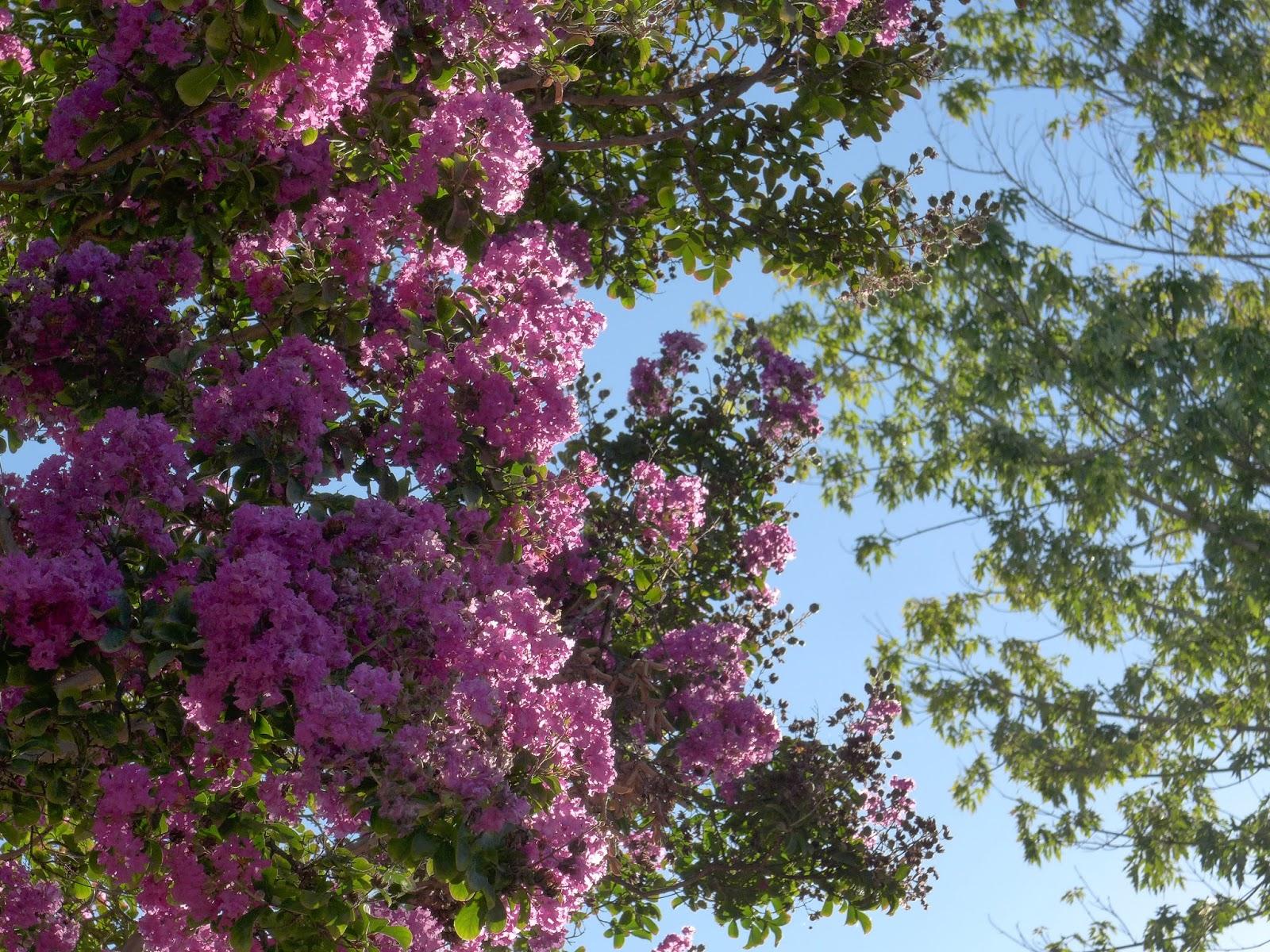 Crepe Myrtle 1 - West Hills, CA