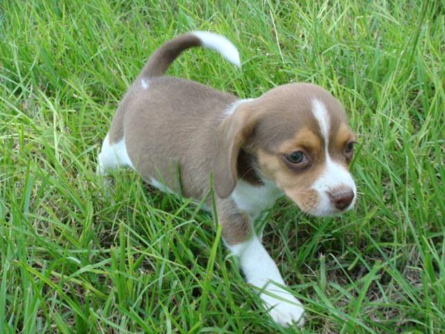 Mini Beagles For Sale | Beagle Puppy