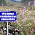 Trồng và chăm sóc cây hoa bạc hà dại phát triển nguồn lợi bền vững