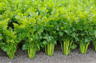 The Amazing Health Benefits of Celery For Gout - Healthy T1ps