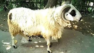 Tips Cara Buka Usaha Domba Qurban