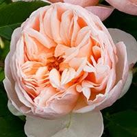 Belle Romantica (Rosa HT)