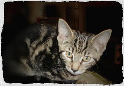 Athena the kitten