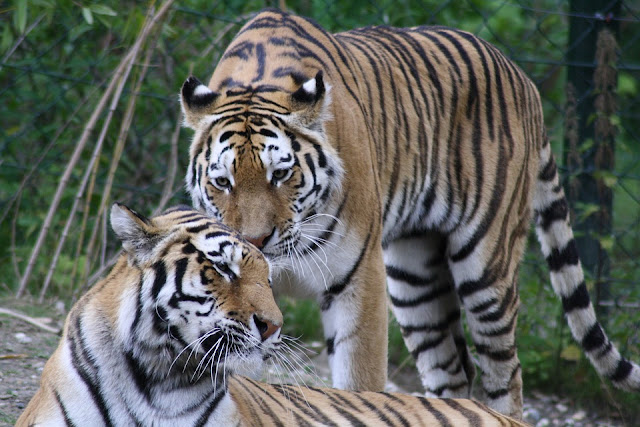 Things to Do in Zambales tigers