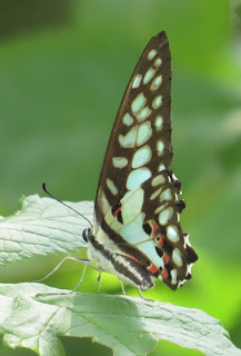 Graphium doson axion, Common Jay