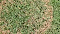 Zoysia Grass Problems