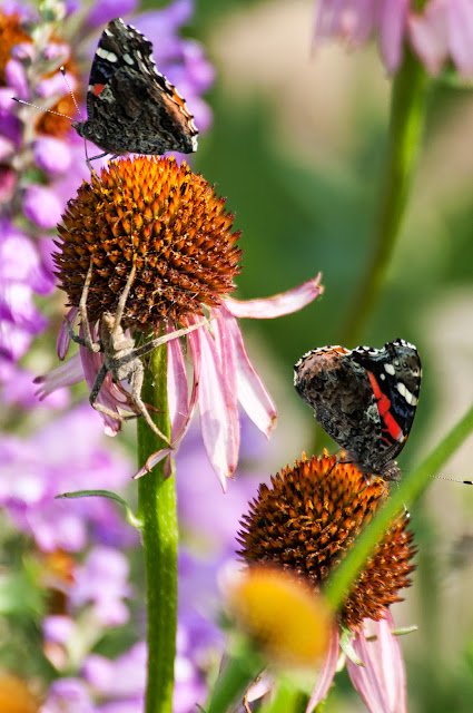 Red Admirals and Spider on Cornflowers, LLELA