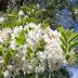 Aceste flori parfumate şi aromate sunt recomandate împotriva DURERILOR PUTERNICE DE CAP, TRATEAZĂ AFECŢIUNILE DIGESTIVE şi RESPIRATORII şi REDUC NIVELUL STRESULUI